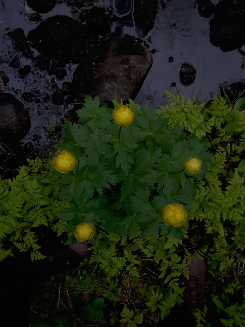 Globeflower pentagon #shakespearesacredgeometry