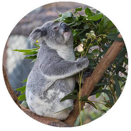 © Détours . Australie, Port Macquerie, Koala Hospital