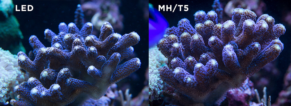 ... light spread under LED and then the difference of just a few months of growth under the MH/T5 combo. Notice the much improved polyp ... & Metal Halide T5 LED.... OH MY! u2014 Every Day Reef u0026 Photo azcodes.com