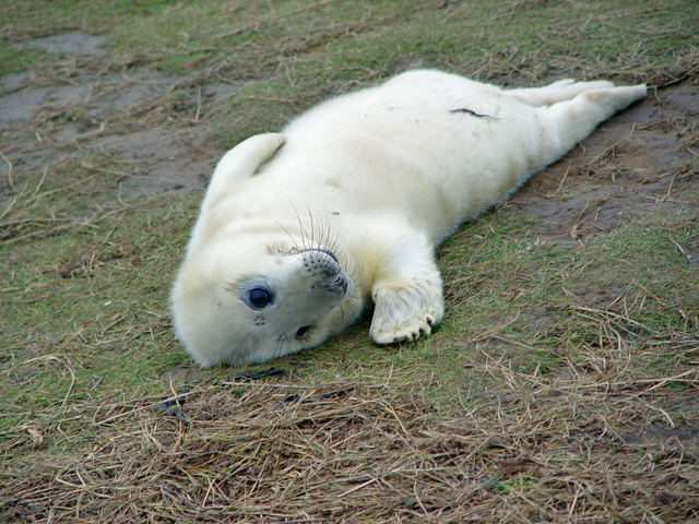 A playful young seal pup at the Donna Nook Nature Reserv