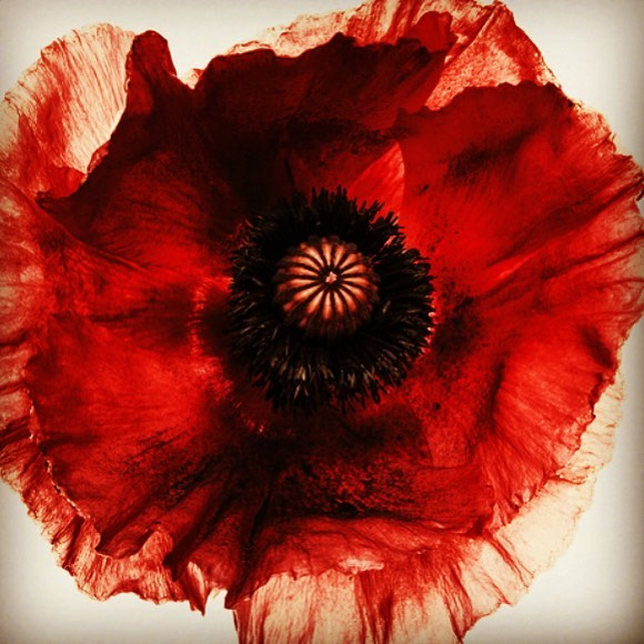"""Today is #VeteransDay #ArmisticeDay #RemembranceDay #PoppyDay I loved learning about the significance of the #Poppy from @townandcountrymag @stellenevolandes  Once a year in November, British citizens (the Queen included) honor fallen troops by wearing a crimson poppy. A century-old tradition, the flower has now come to symbolize hope and gratitude. But how did it get its meaning?  As the story goes, during World War I, after a particularly bloody battle in the fields of Flanders in Belgium, thousands of bright red flowers mysteriously appeared. Poet John McCrae, a lieutenant colonel in the Canadian Expeditionary Forces, who had just lost a friend to the war, was so moved by this spontaneous bloom that he wrote a poem about the flowers' resilience, titled """"In Flanders Fields"""": In Flanders' fields the poppies blow  Between the crosses, row on row,  That mark our place: and in the sky  The larks, still bravely singing, fly  Scarce heard amid the guns below.  We are the dead. Short days ago  We lived, felt dawn, saw sunset glow,  Loved and were loved, and now we lie  In Flanders' fields.  Take up our quarrel with the foe;  To you from failing hands we throw  The torch; be yours to hold it high,  If ye break faith with us who die  We shall not sleep, though poppies grow  In Flanders' Fields.  Similar to Veterans Day in the States, Remembrance Day, or """"Poppy Day,"""" falls on the second Sunday in November and honors the lives and memories of fallen troops. This year the holiday will be celebrated on November 11, and marks the 100th anniversary of the end of WWI. 📸 @the.irving.penn.foundation"""