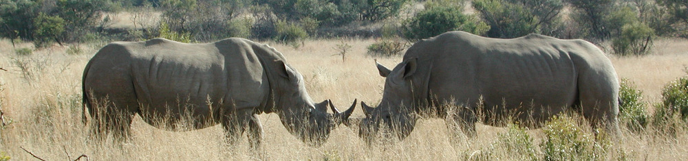 Two southern white rhinos in Pilanesburg National Park, South Africa.