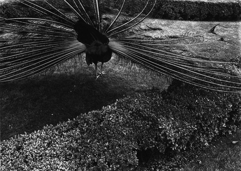 Euro_Peacock Behind.jpg