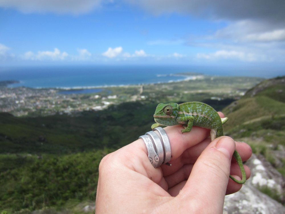A chameleon on the top of Peak St. Louis, the highest peak in Fort Dauphin.