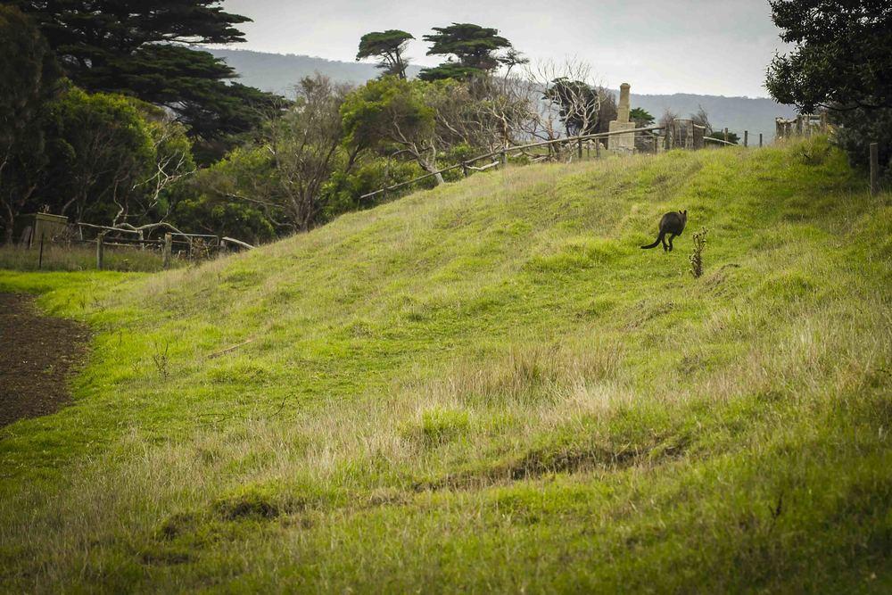Easter Grey Kangaroo Chi Medicinal Farm