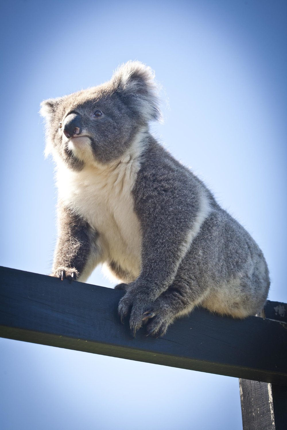 Koala Bear at Chi Medicinal Farm Pose 5