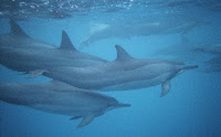 A pod of bottlenosed dolphins near Maui Hawaii