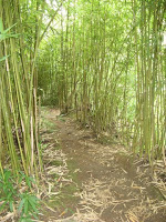 Bamboo forest trail on Maui Hawaii