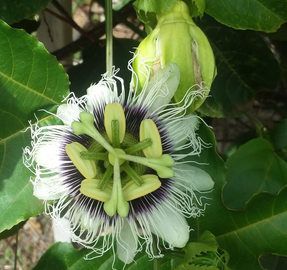 Lilikoi, AKA Passion Flower