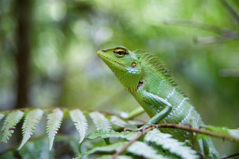Emerald Forests - Green Forest Lizard copy.png