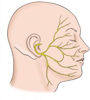facial nerve distribution