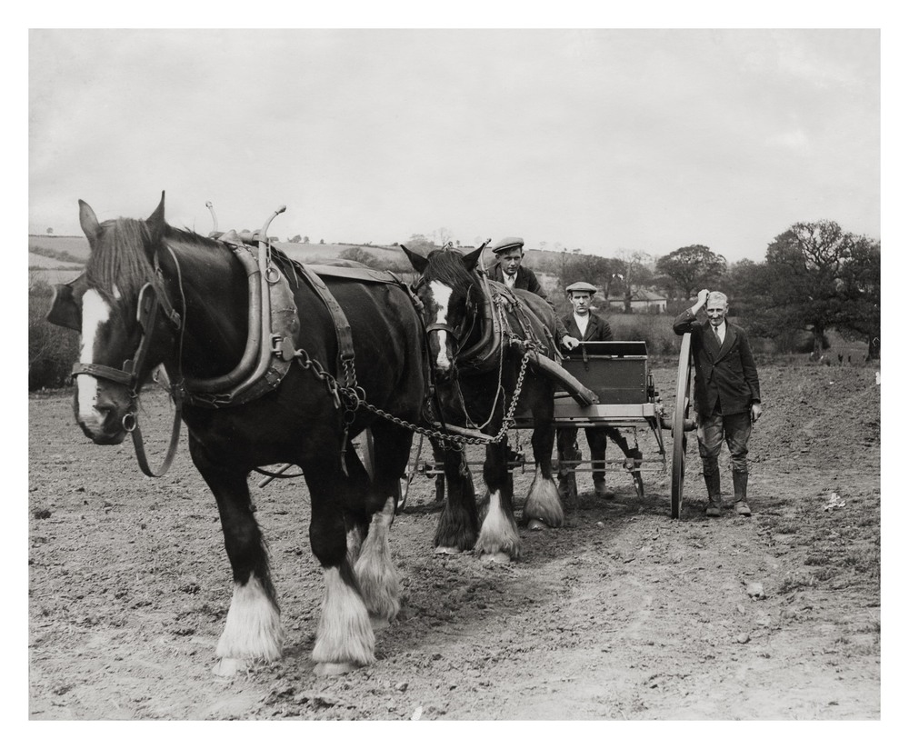 Shire horses Prince & Jolly