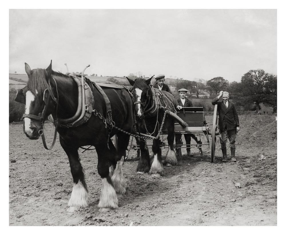 Shire horses Prince & Jolly