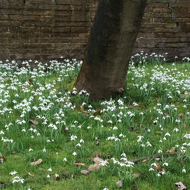 Beautiful snowdrops around my #whitebeamtree