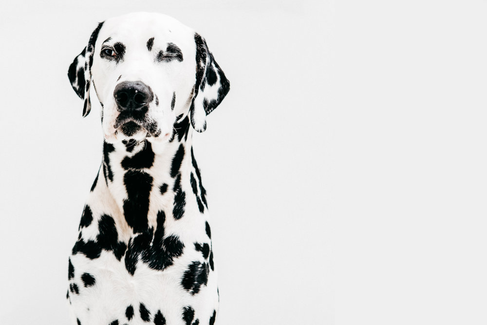 DALMATIAN - 'DOG' MAGAZINE COVER