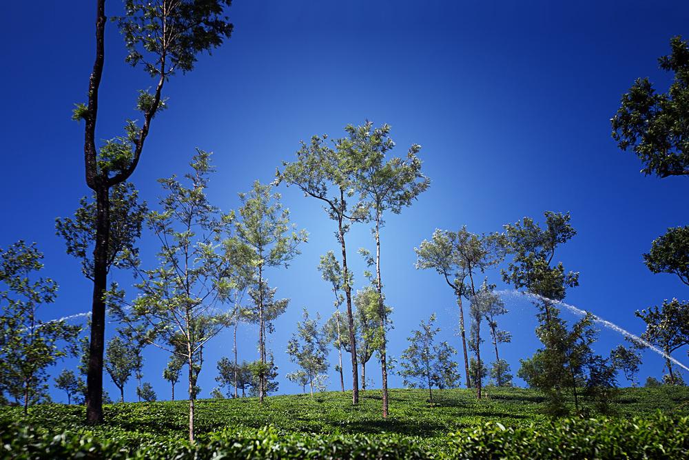 Tea Estate.jpg