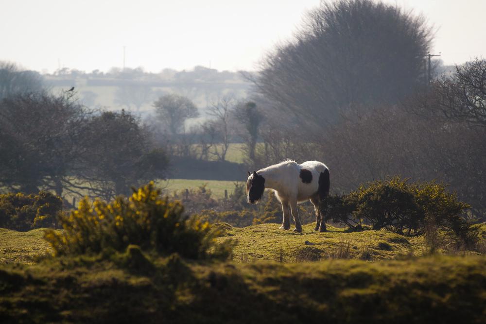 Wild Pony Bodmin St Breward