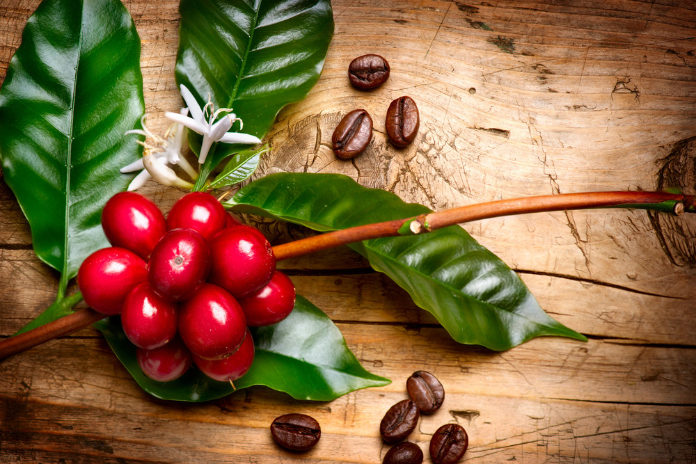 photodune-7454345-coffee-plant-red-coffee-beans-on-a-branch-of-coffee-tree-l1.jpg