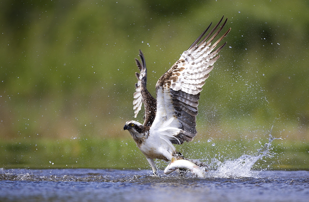 Osprey Fishing in Scotland
