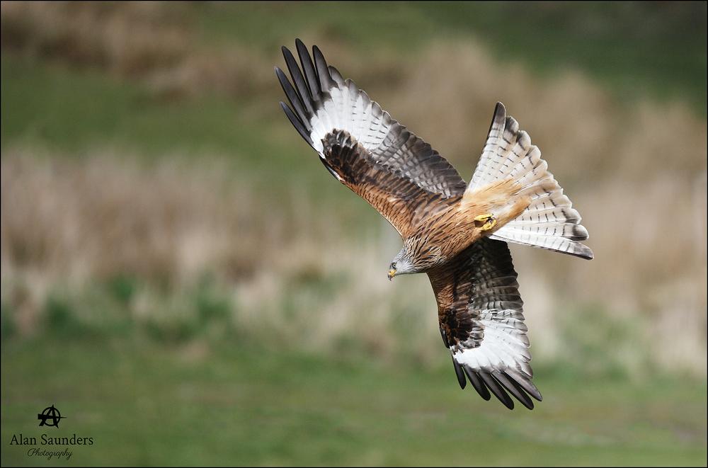Red  Kite - Milvus milvus - Wales