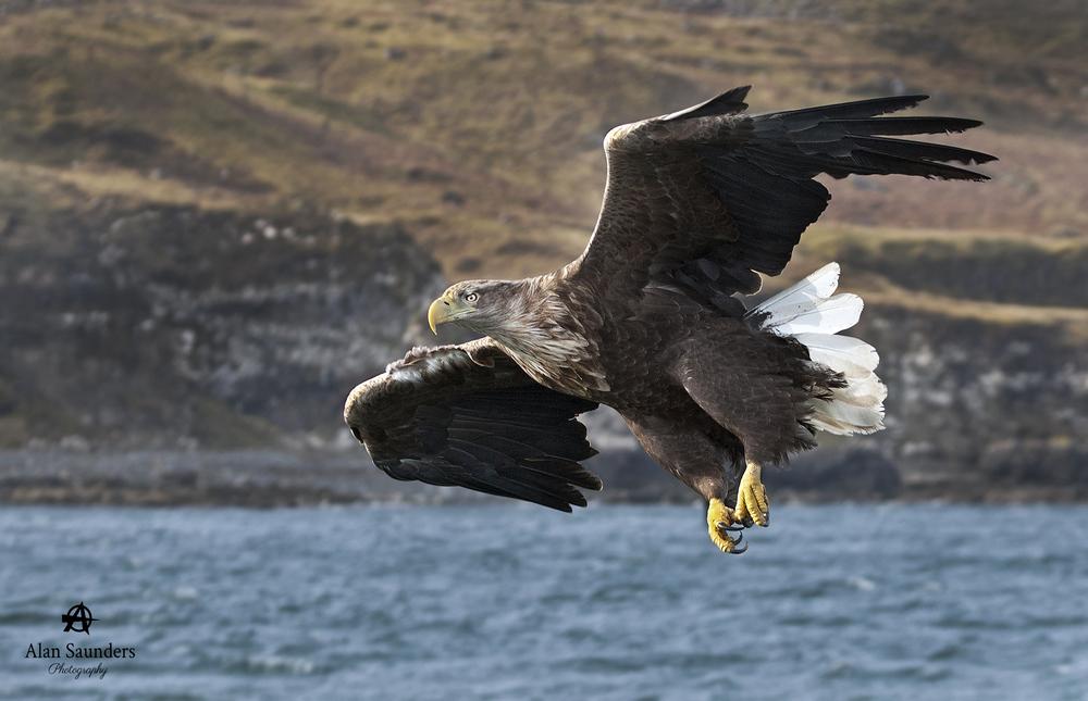 White-Tailed Sea Eagle  - Haliaeetus albicilla