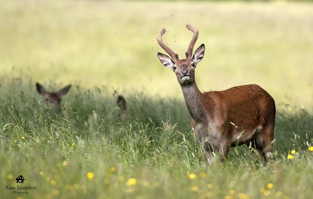 Red Deer - Cervus elaphus - Pott Shrigley - Cheshire