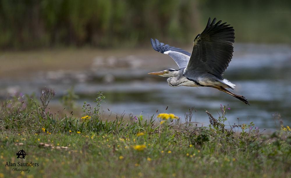 Grey Heron - Ardea cinerae - Conwy RSPB - July 2016