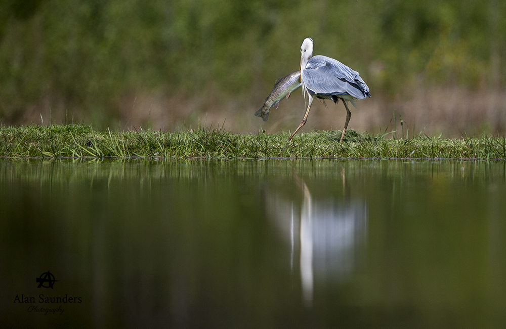 grey heron 4.jpg