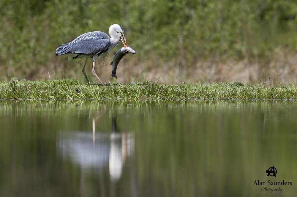 grey heron 5.jpg