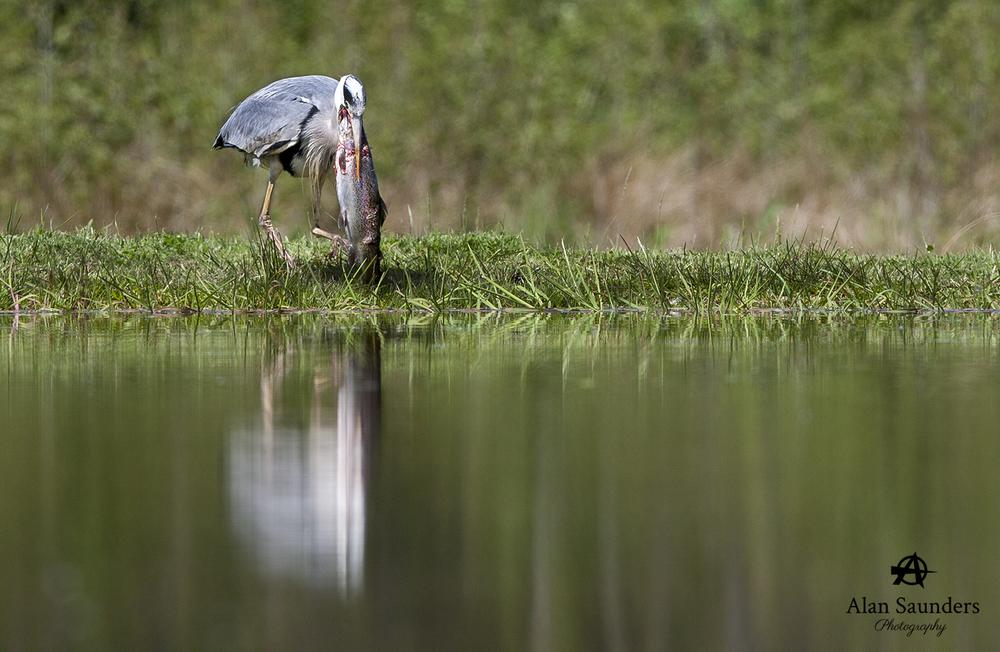 grey heron 6.jpg