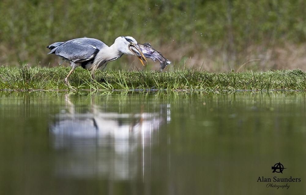 grey heron 7.jpg