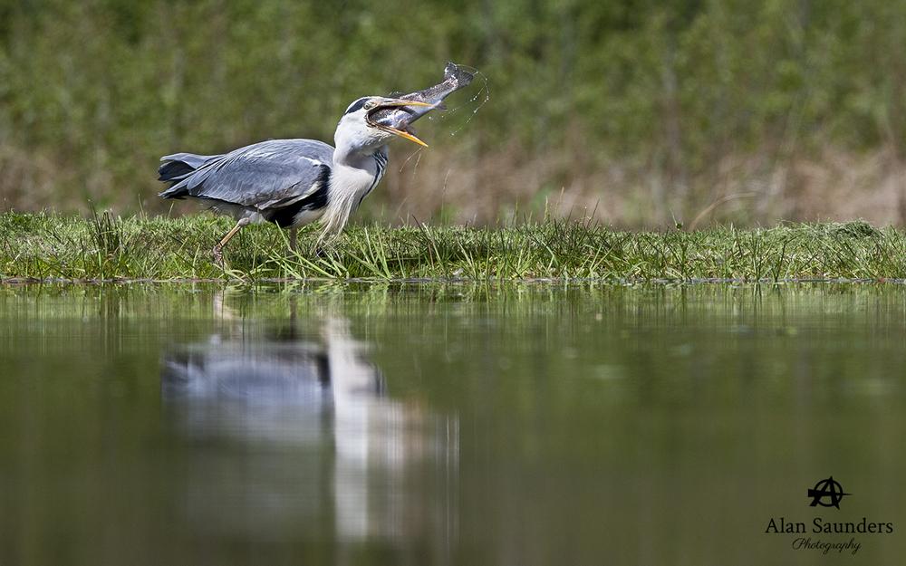 grey heron 8.jpg