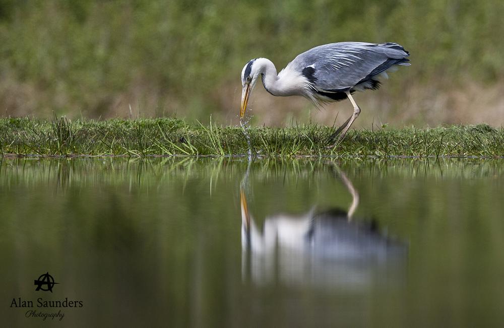 grey heron 10.jpg