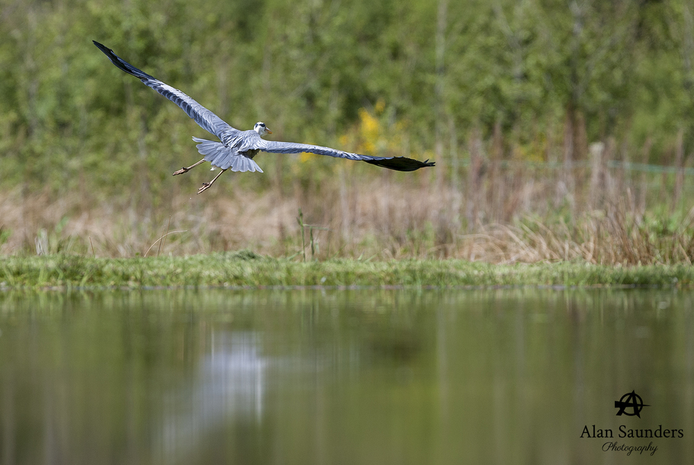 grey heron 12.jpg