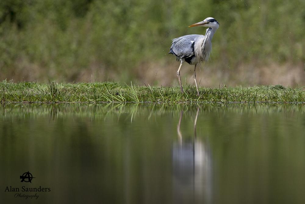 grey heron 11.jpg