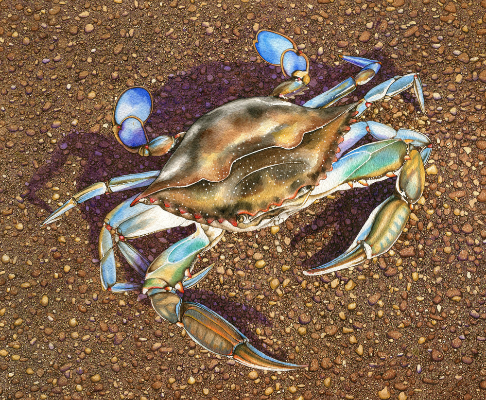 crab cropped.jpg