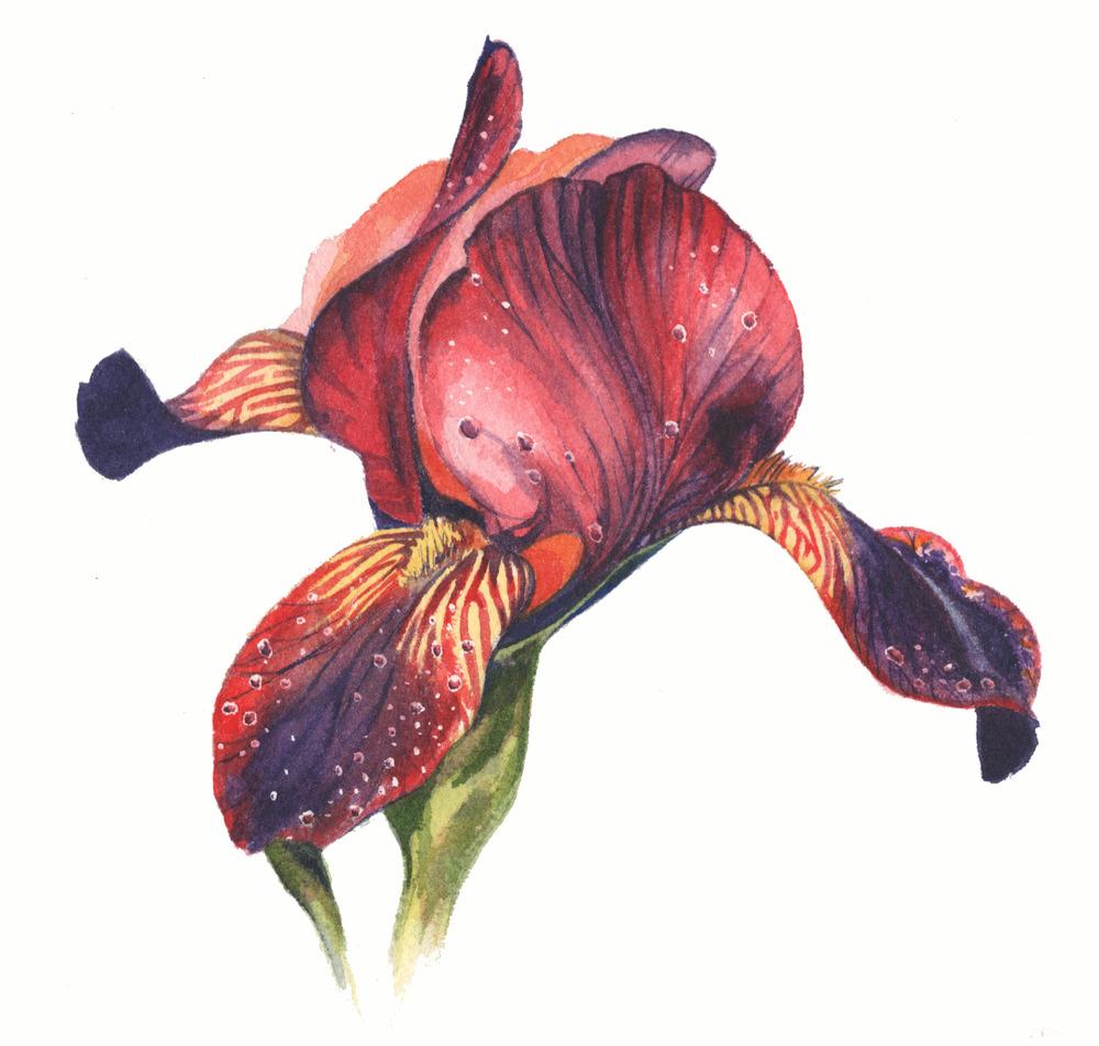 Iris cropped(1).jpg