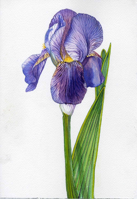Iris006(1).jpg