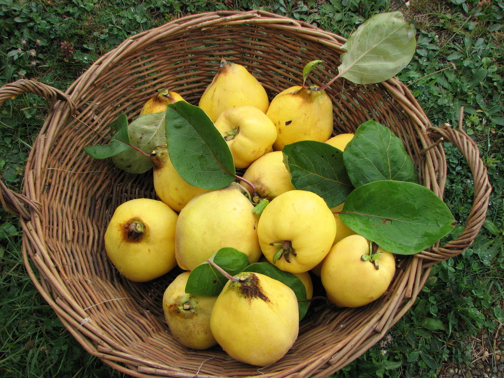 Fresh-picked quince!