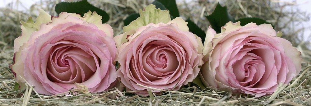 roses-2090840_1920.jpg
