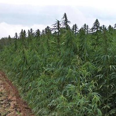 An industial hemp field
