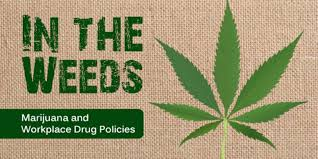 in the weeds marijuana and workplace drug policy.jpg