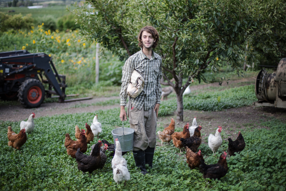 Farm intern at Zebroff's Organic Farm doing morning chores, feeding the chickens in the apricot orchard. (Okanagan Valley)