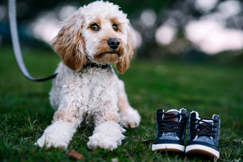 Cute poodle puppy posing beside a pair of baby shoes