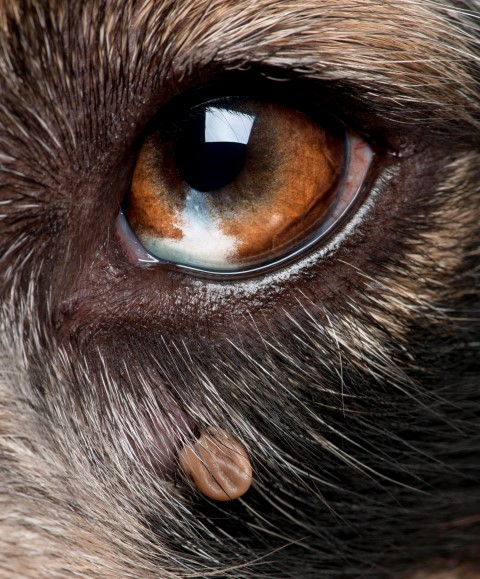 Dog-eye-with-tick-Small.jpg