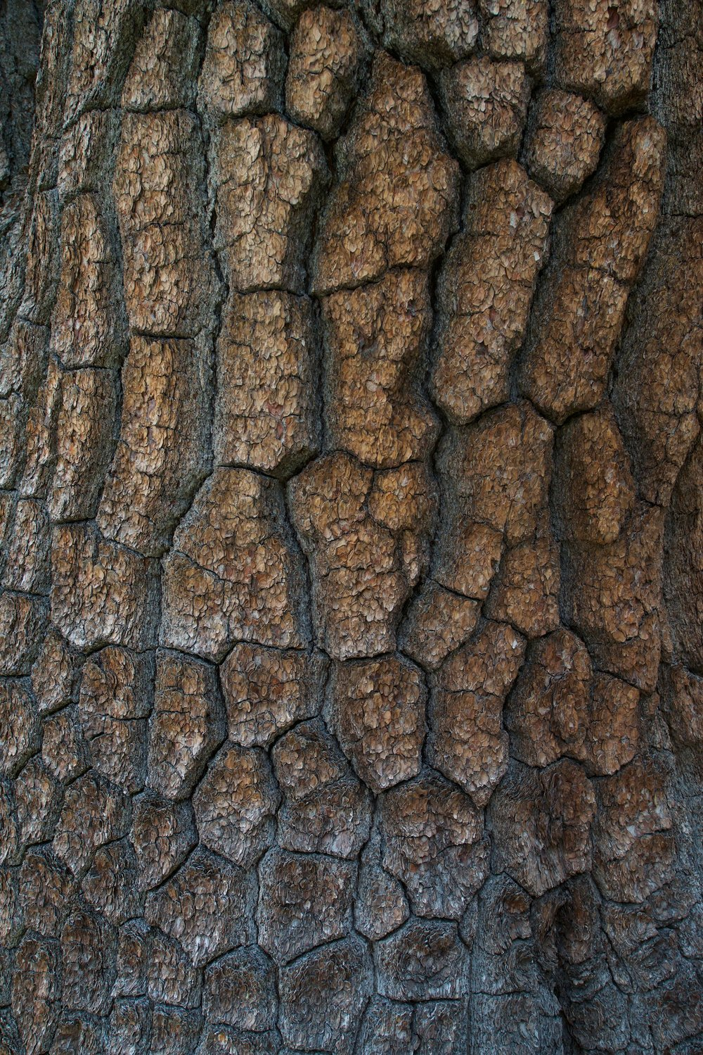 2015-0067-0187.  Bark of a Ponderosa Pine, Sierra National Forest, California.   Purchase this pair of prints.