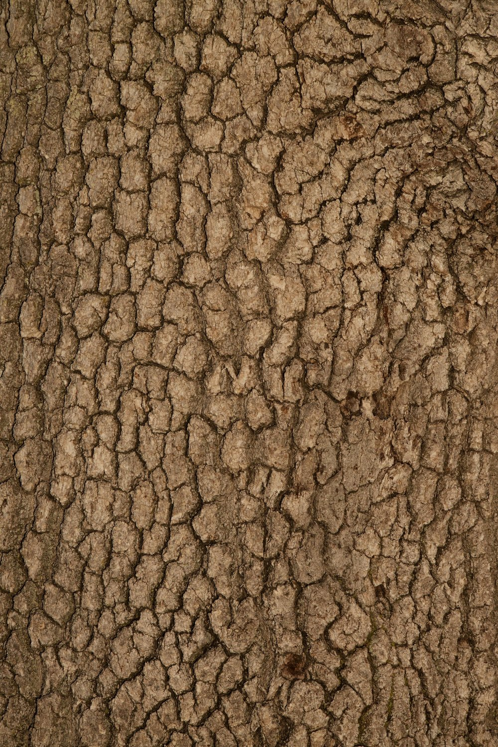 2015-0097-0166.  Bark of a Valley Oak, Stanford, California.