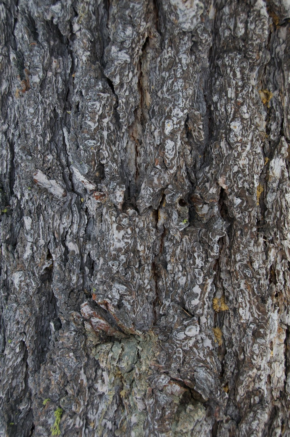 2010-0063-0135.  Bark of a White Fir, Lake Tahoe, California.   Purchase this pair of prints.