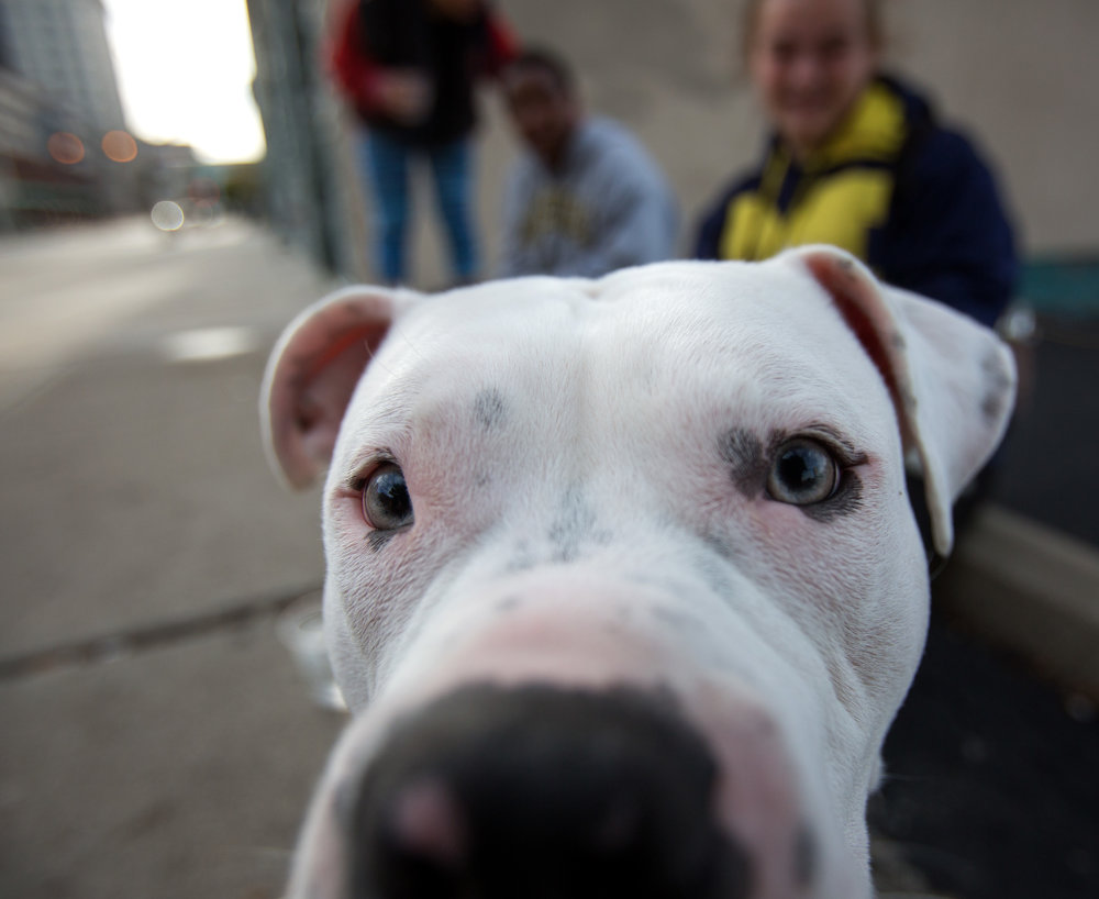 1 year old pit bull Hercules sniffs at the camera lens while sitting with owner Amber Williamson, right, as she waits for a friend with Gabriel Wade, center, and Destiny Wade on Superior St. in downtown Toledo on Monday, Nov. 14, 2016.