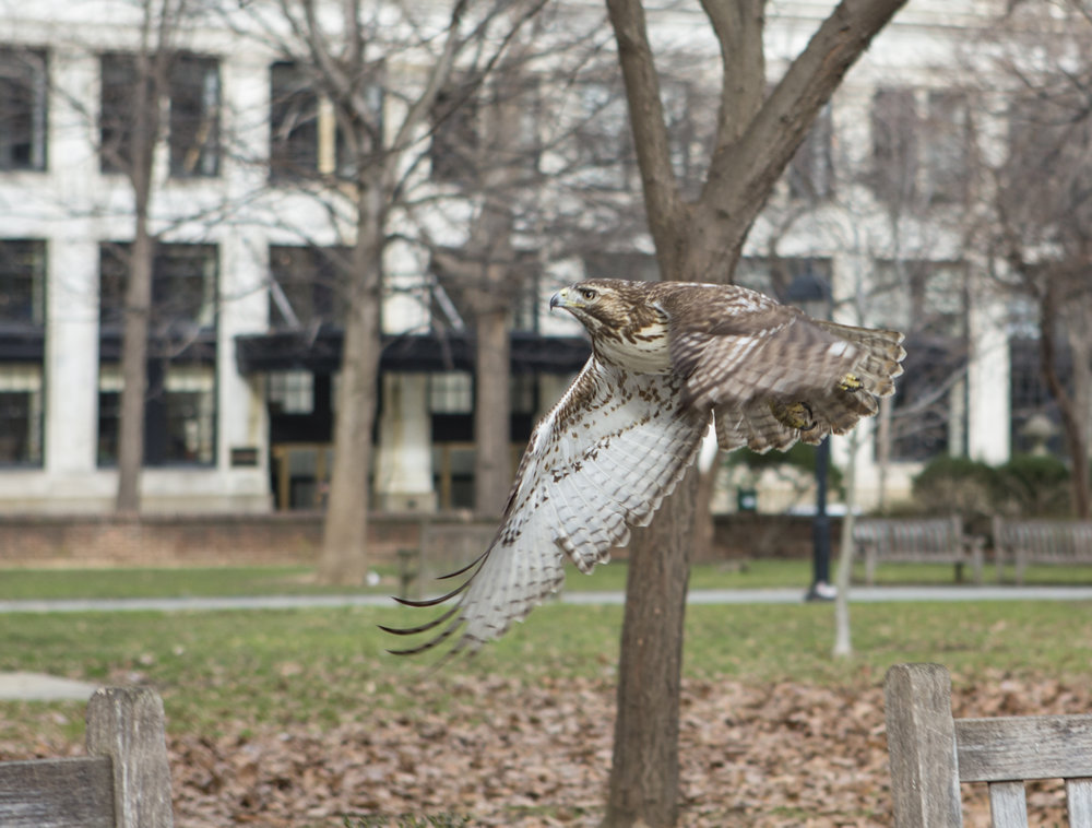 I managed to get a photo of this hawk in Washington Square Park in the afternoon as it was hunting for squirrels.